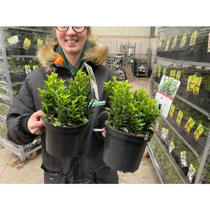 Euonymus Jap. Green Spire 2 Litre Pot