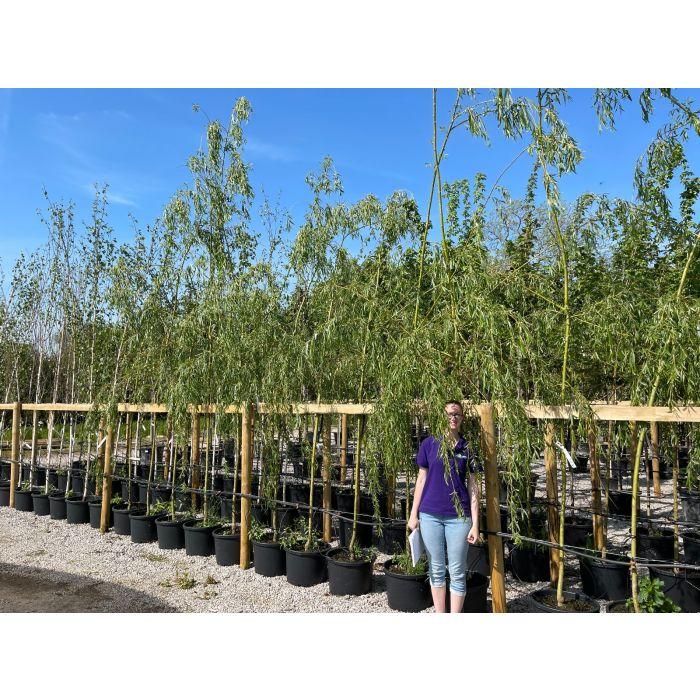Salix x sepulcralis Tristis - Chrysocoma  Standard 6/8cm  40 Litre Pot