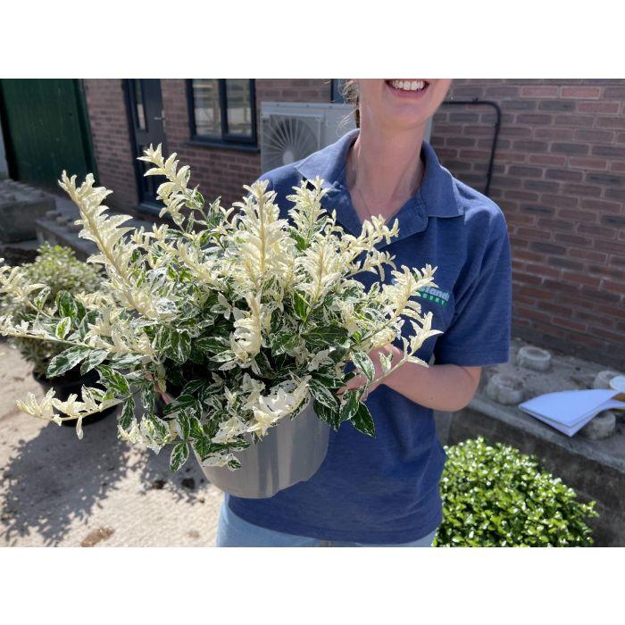 Euonymus fortunei Harlequin 5 Litre Pot