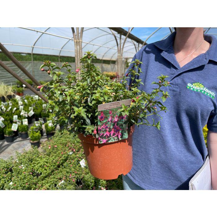 Fuchsia Tom Thumb 3 Litre Pot
