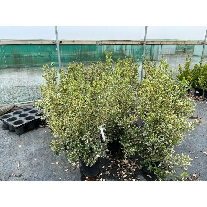 Euonymus japonicus Bravo 9 Litre Pot