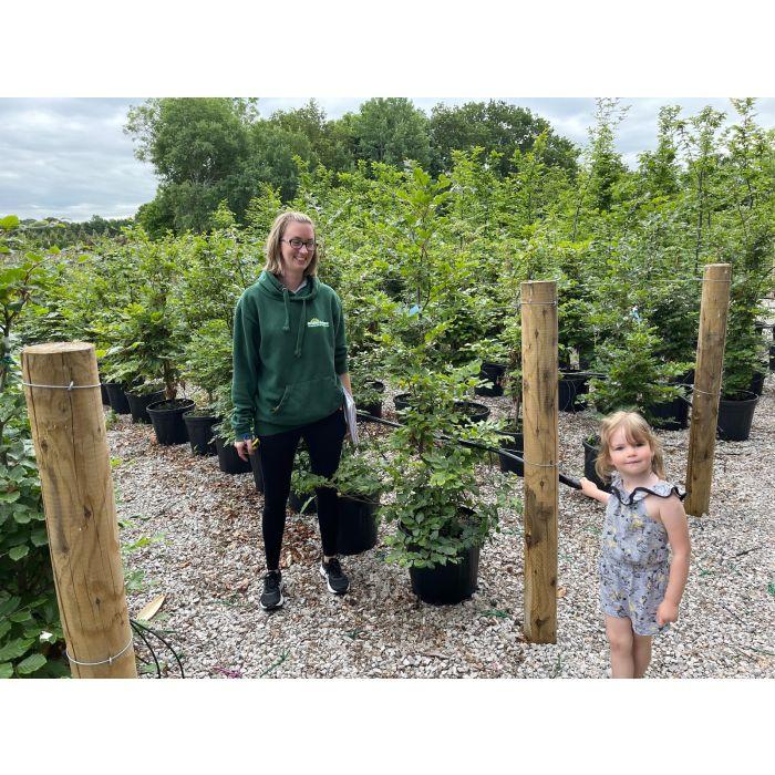 Green Beech 140-150cm 25 Litre Pot