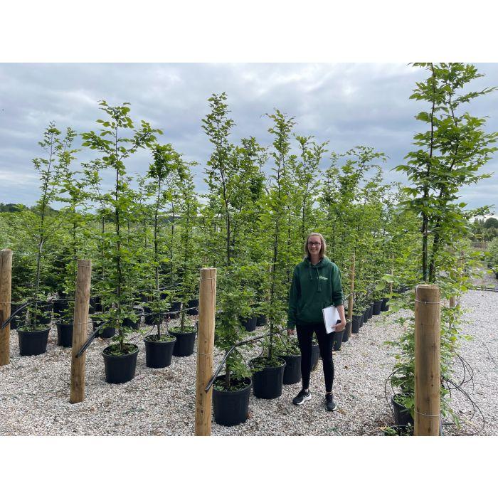 Hornbeam Hedge Carpinus Betulus 30 Litre Pot 200/230cm