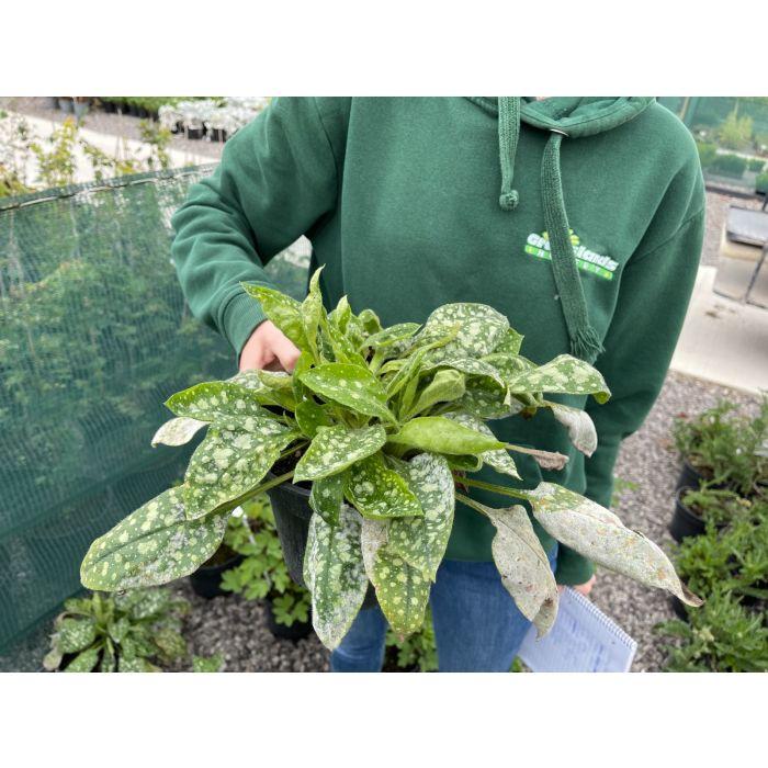 Pulmonaria Sissinghurst White 3 Litre Pot