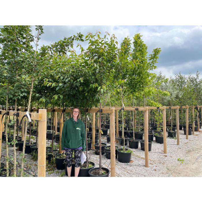 Prunus Avium Standard 40 Litre Pot 8/10 cm Girth