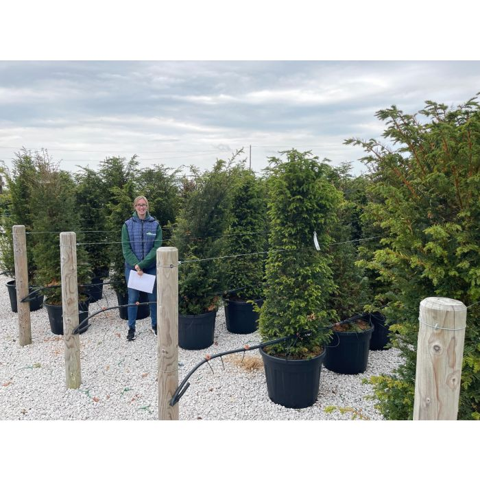 Yew Hedging 70 Litre Potted 170/190cm