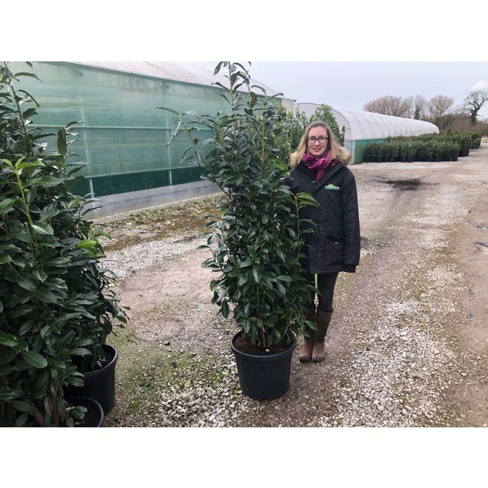 Laurel Hedging Genolia Potted 150/175cm