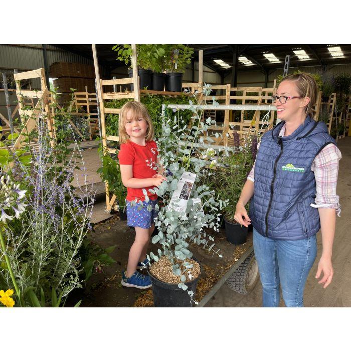 Eucalyptus Gunnii  Silverana 10 Litre Pot
