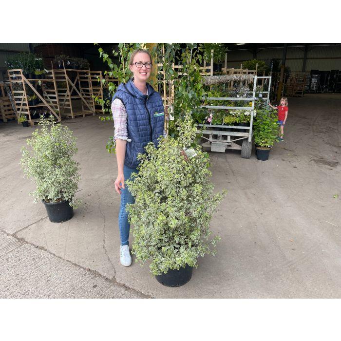 Pittosporum Tenuifolium Variegatum 25 Litre Pot