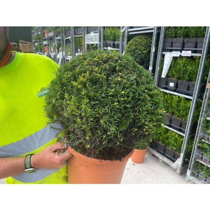 Yew Ball 12 Litre Pot 40-45cm