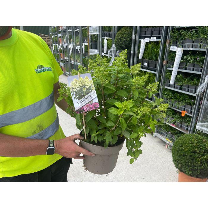 Hydrangea Paniculata Panflora 5 Litre Pot