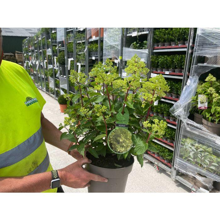 Hydrangea Paniculata  Magical Andes 5 Litre Pot
