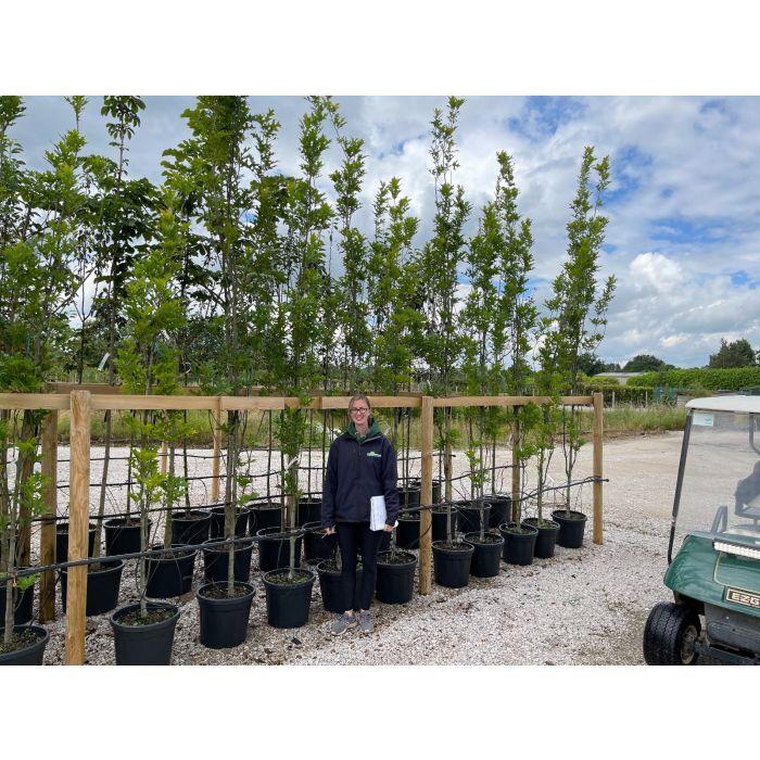 Quercus Palustris Green Pillar 6 /8 Girth