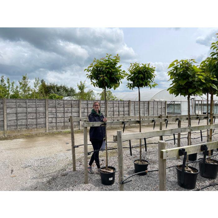 Prunus Lusitanica Tico Std  6 /8 G 180 Stem