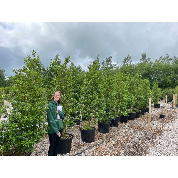 Ilex Aquifolium Limsi 200cm Extra Heavy Bush