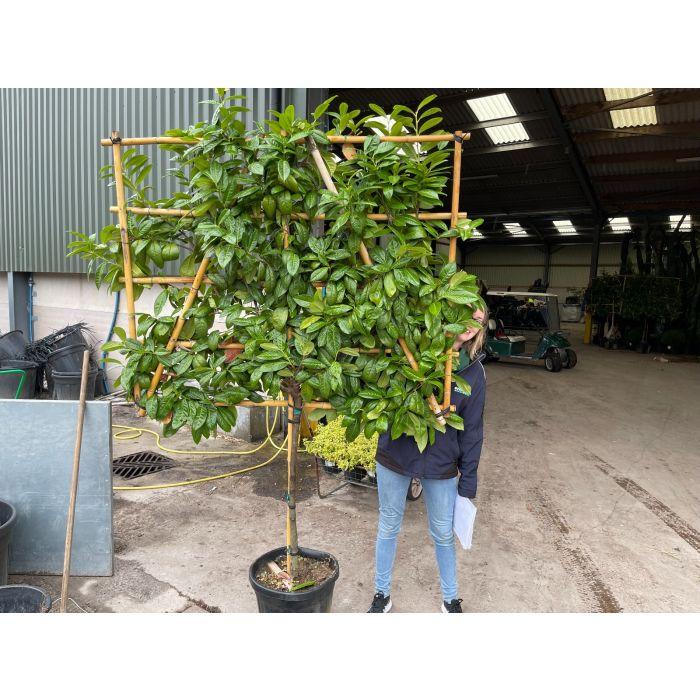 Prunus Novita Pleached Half Standard