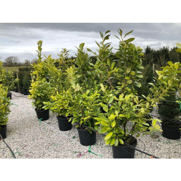 Cherry Laurel Hedging 45 Litre Pot Grown 170-200cm + Feed