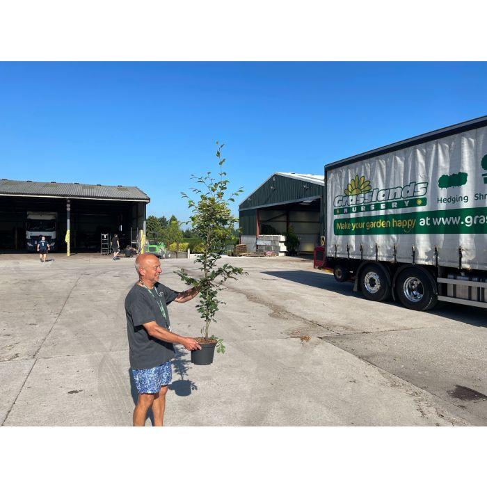 Beech Hedging Green 130-150cm 5 Litre Pot Grown