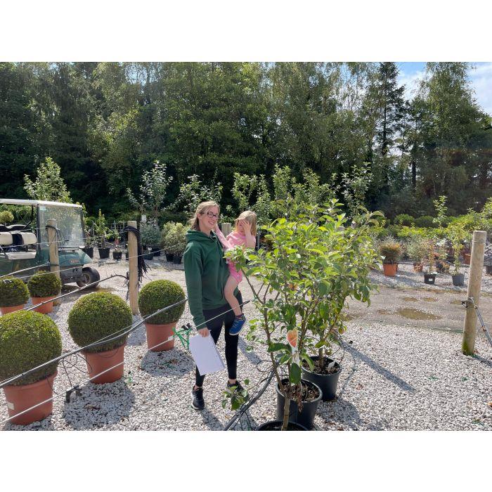 Apple Trio Tree, Elstar, Boskoop, Jonagold 20 Litre Pot