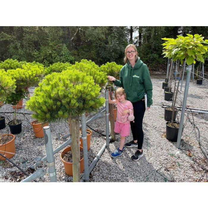 Pinus Nigra Brepo 18 Litre Pot 1/2 Standard