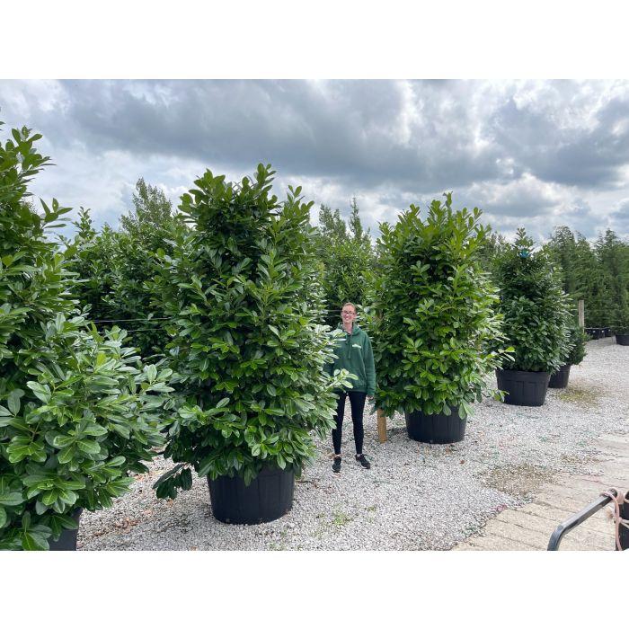 Laurel hedging 230-260cm Super Wide 230 Litre Pot