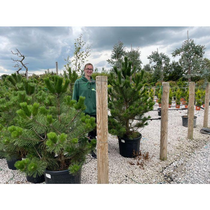 Green Beech 130-150cm 25 Litre Pot