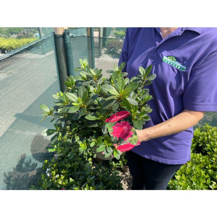 Azalea Japonica George Arends 2 Litre Pot