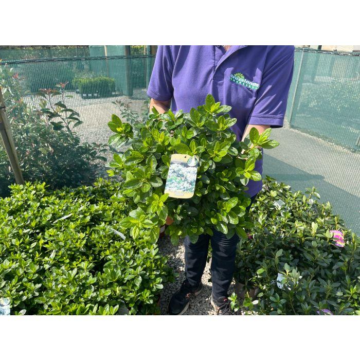 Azalea Japonica Adonis 3 Litre Pot