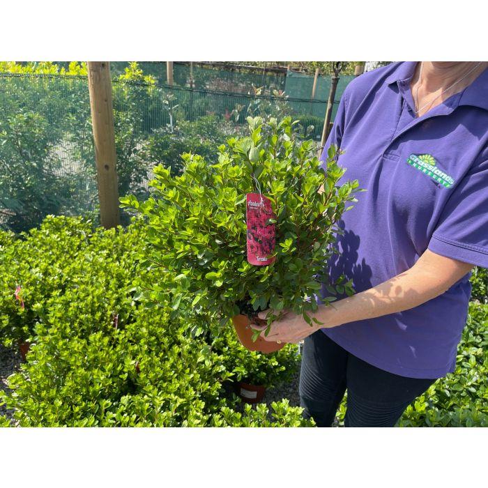 Azalea Japonica Toreador 3 Litre Pot