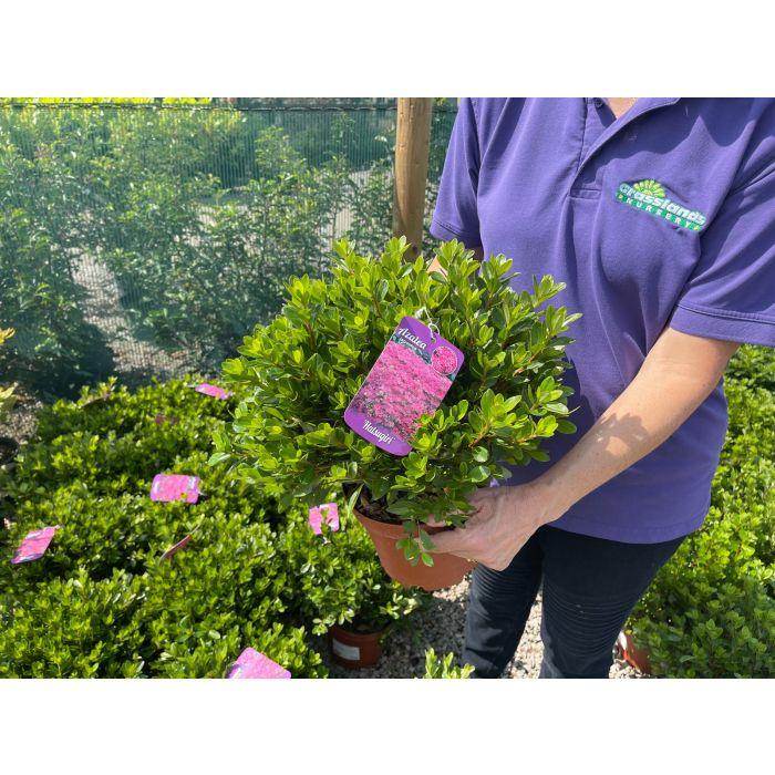 Azalea Japonica Hatsugiri 3 Litre Pot