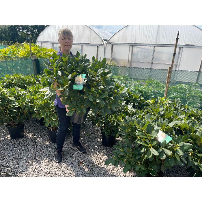 Rhododendron Hybrid Horizon Monach 10 Litre Pot