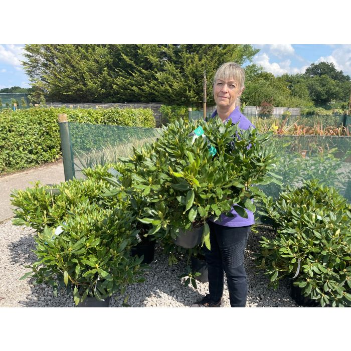 Rhododendron Hybrid Madame Masson 10 Litre Pot