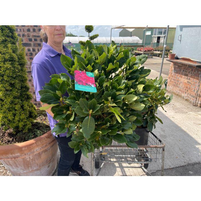Rhododendron Hybrid Markeeta's Prize