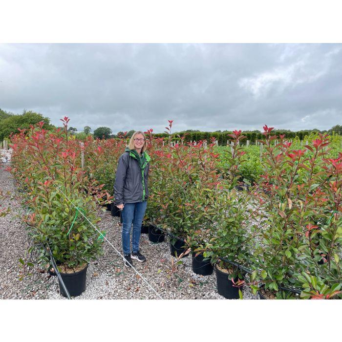 Photinia Red Robin 18 Litre Pot 125/150cm