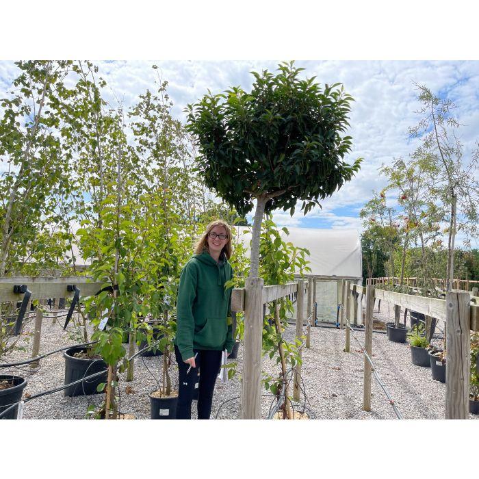 Prunus Lusitanica Myrtifolia 3/4 Standard 55 Litre Pot 12/16G