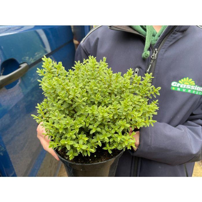 Hebe pinguifolia Sutherlandii 2 Litre Pot