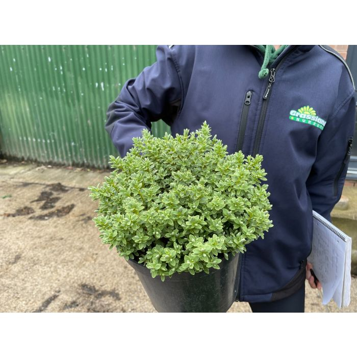 Hebe pinguifolia Sutherlandii 5 Litre Pot