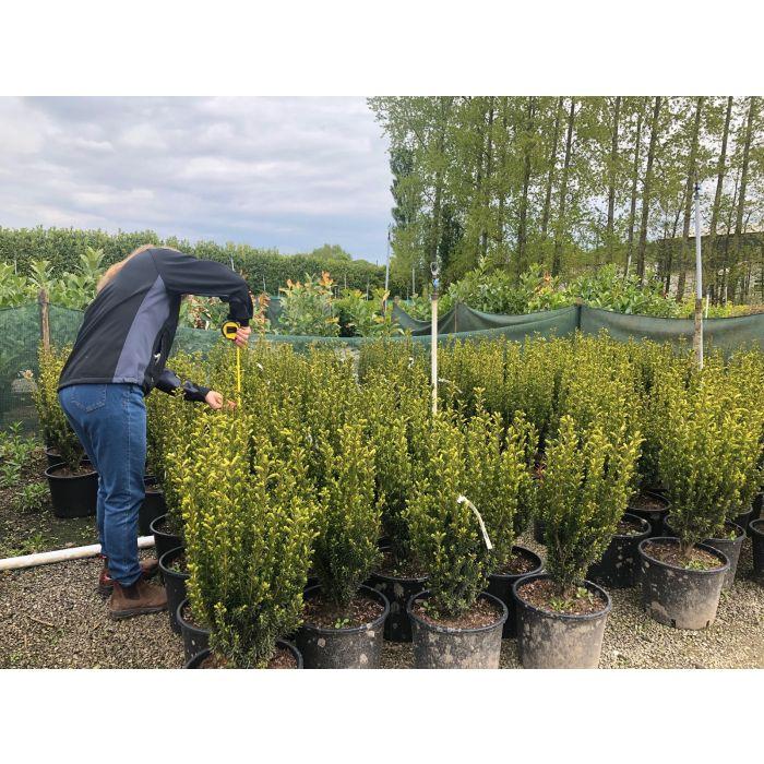 Yew Hillii Hedging 15 Litre Pot 50-60cm