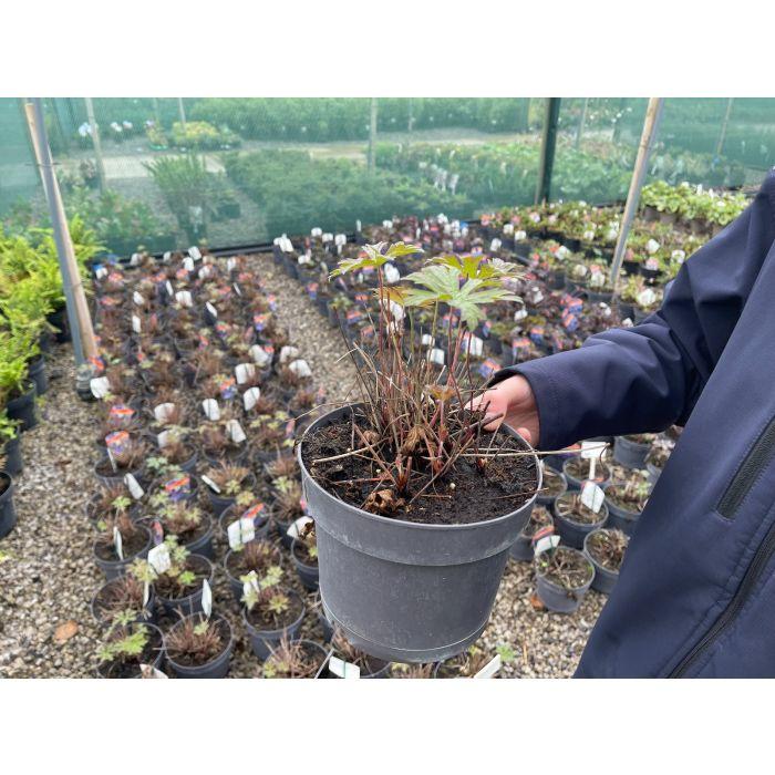 Geranium Maja 2 Litre Pot