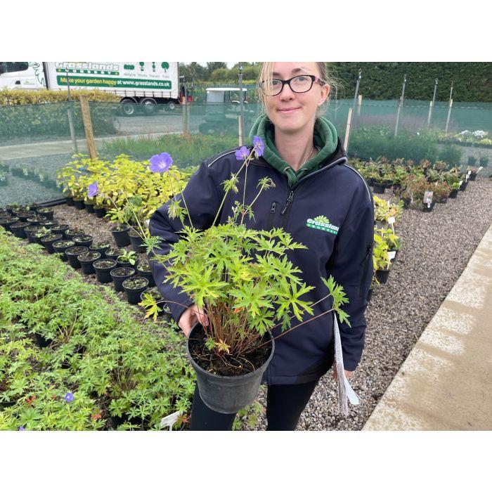 Geranium Brookside 3 Litre Pot