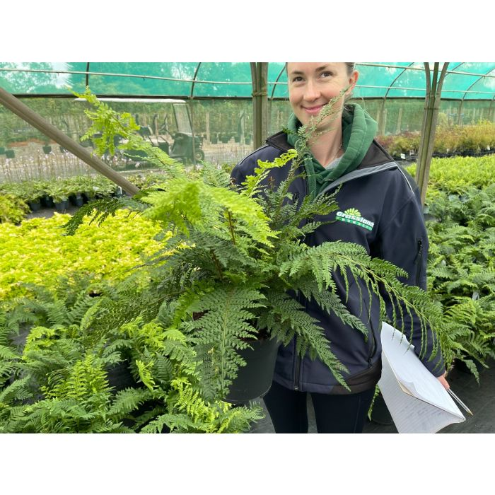 Dryopteris affinis 5 Litre Pot