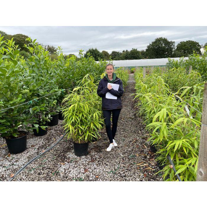 Pseudosasa Japonica Bamboo 15 Litre Pot 80/100