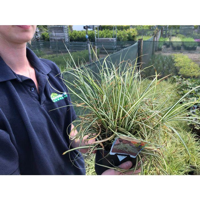 Carex oshimensis Evergold 2 Litre Pot