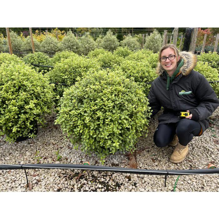 Pittosporum Tenuifolium Pom Pom 25 Litre Pot