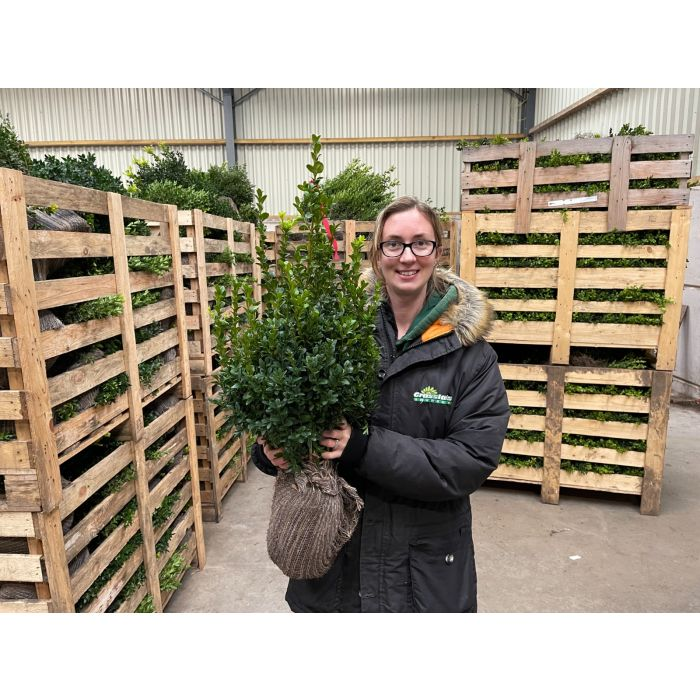 Box Hedging 40/50 Root Ball