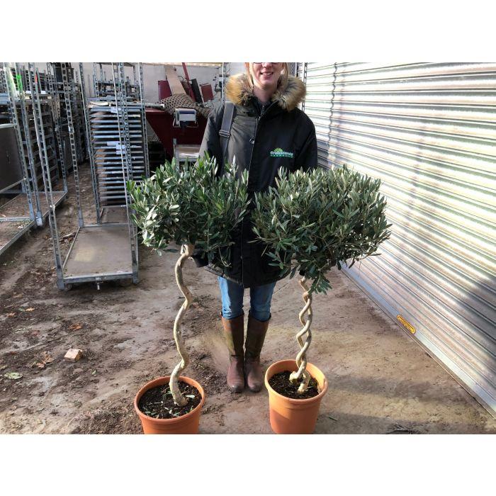 Olea Europea - Olive -  Double Spiral Stem
