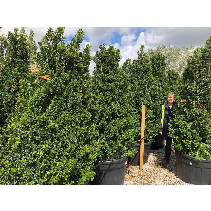Ilex meserveae Heckenstar 210-230cm Extra Wide Heavy Bush 240 Litre