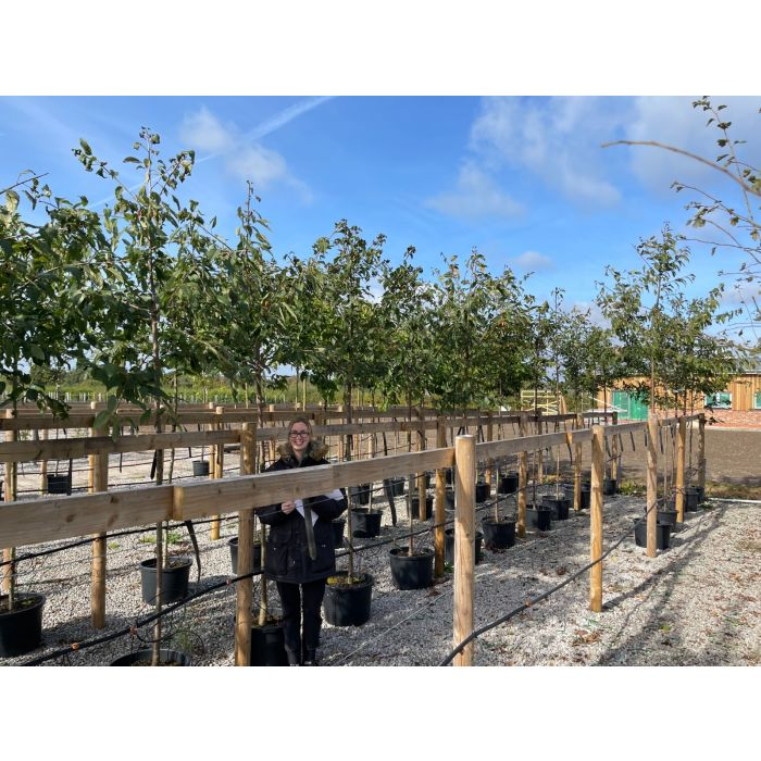 Prunus Avium Plena  Standard 6/8 cm Girth