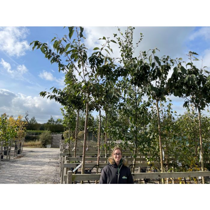 Prunus subhirtella Autumnalis Rosea  Standard 8/10cm Girth