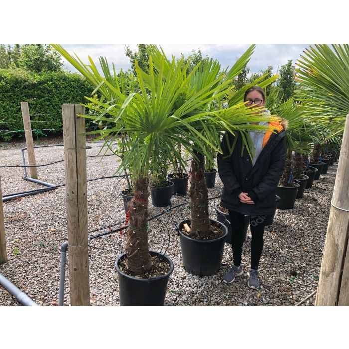 Trachycarpus Fortunei 65 Litre Pot 50/60cm Trunk